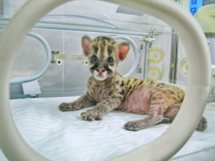 Shvabe Incubator Saves the Life of a Cougar Kitten in the Yekaterinburg Zoo