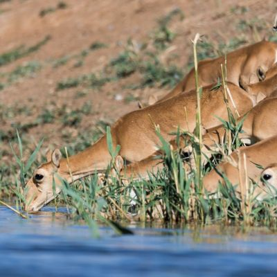 World Wildlife Fund Counts Saigas With the Aid of Kalashnikov Drones